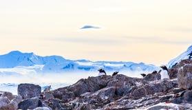 gentoo pengins群掩藏在岩石和冰川的与冰 库存照片