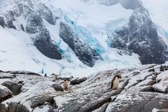 Gentoo pengins walking on the snow with blue glacier in the back. Ground, port Charcot, Booth island, Antarctic peninsula