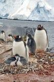 Gentoo penguin με τους νεοσσούς, μπροστά από έναν παγετώνα, στην Ανταρκτική Στοκ Εικόνες