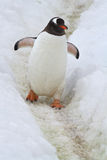 Gentoo penguin που πηγαίνει σε μια διαδρομή που τοποθετούνται Στοκ Φωτογραφία
