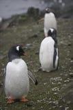 Gentoo penguin στην Ανταρκτική Στοκ Εικόνες