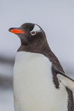 Gentoo penguin στο αριστερό σχεδιάγραμμα Στοκ Εικόνες