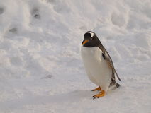 Gentoo Penguin. A Gentoo Penguin, also known as Pygoscelis papua walking on snow in Asahikawa Zoo in Hokkaido, Japan Royalty Free Stock Photography