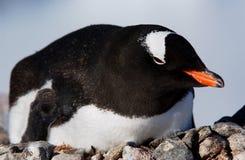Gentoo penguin. Pose at the camera in Antarctica stock photo