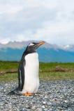 Gentoo penguin Stock Images