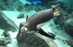 Gentoo Penguin. (15) Royalty Free Stock Photo