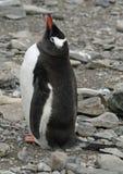 Gentoo penguin 20 Stock Photos