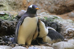 Gentoo penguin Royalty Free Stock Photo