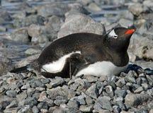 Gentoo penguin 28 Stock Photo