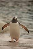 Gentoo penguin Stock Photos
