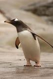 Gentoo penguin Royalty Free Stock Photos