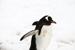 Gentoo penguin Στοκ φωτογραφία με δικαίωμα ελεύθερης χρήσης