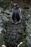 Gentoo penguin. Lost the way home stock image