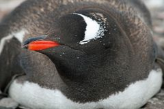 Gentoo penguin 8 Stock Photo