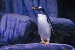 Gentoo penguin Στοκ Φωτογραφίες