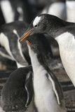 Gentoo penguin. Baby Gentoo penguin asking parent for food Stock Photography