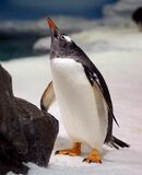 Gentoo Penguin. (9) Stock Images