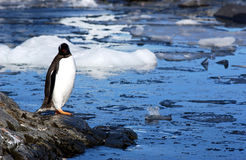 GENTOO PENGUIN Stock Photos