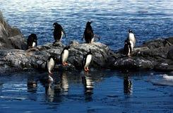 Gentoo penguin. Funny Gentoo penguin with tham colony royalty free stock photo