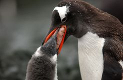 Gentoo penguin. Funny Gentoo penguin with tham colony mother feeds her puppy stock photography