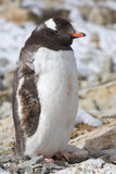 Gentoo penguin adult who molts and stands Stock Photos