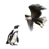 Gentoo penguin, american bald eagle in flight Stock Photos