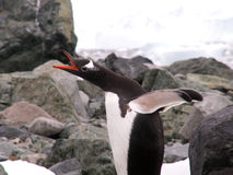 Gentoo penguin in Antarctic. A Gentoo penguin on an Antarctic beach royalty free stock photography
