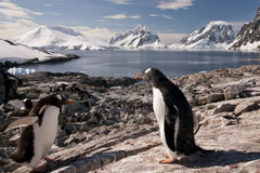Gentoo penguin in Antarctica Royalty Free Stock Photos