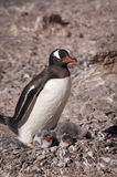 Gentoo penguin in Antarctica Royalty Free Stock Photography