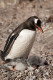 Gentoo penguin in Antarctica Stock Photo