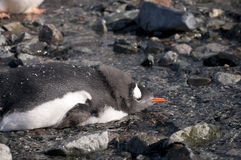 Gentoo penguin in Antarctica Royalty Free Stock Images
