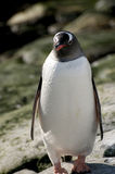Gentoo penguin in Antarctica Stock Image
