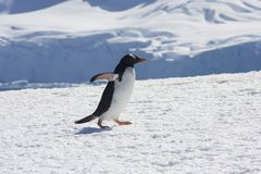 Gentoo penguin, antarctica Royalty Free Stock Images
