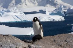 Gentoo penguin, antarctica. Gentoo Penguin on cuverville island in Antarctica royalty free stock photos