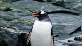 Gentoo Penguin in Antarctica. Looking to the left Stock Photography