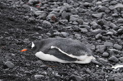 Gentoo penguin in Antarctica Stock Photography