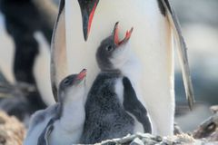 Gentoo Penguin Babies Royalty Free Stock Photo