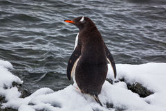 Gentoo penguin from the back on snow against ocean, Antarctica Stock Image