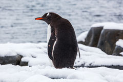 Gentoo penguin from the back on snow against ocean, Antarctica Stock Images