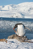 Gentoo penguin on the background of the ocean. Royalty Free Stock Photo