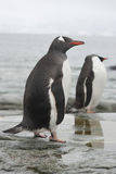 Gentoo penguin in the band ebb. Royalty Free Stock Photography