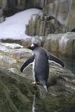 Gentoo penguin bird Royalty Free Stock Images