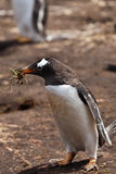 Gentoo penguin female Stock Photos
