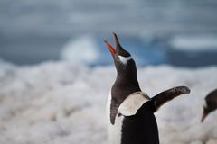 Gentoo Penguin Call Stock Image