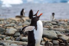 Gentoo Penguin Call Royalty Free Stock Image