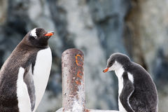 Gentoo penguin and chick Royalty Free Stock Photography