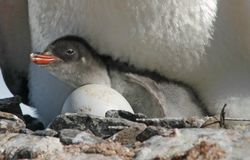 Gentoo penguin chick 32 Royalty Free Stock Image