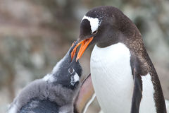 Gentoo penguin chick begging for food from that of an adult Stock Images