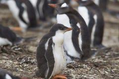 Gentoo Penguin chick - Falkland Islands Stock Image