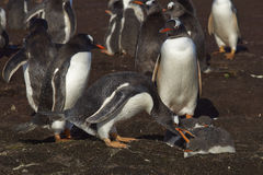 Gentoo Penguin with chick - Falkland Islands Royalty Free Stock Image